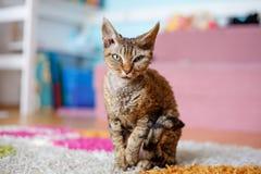 Devon Rex purebred domestic cat. Sitting on carpet royalty free stock image