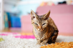 Devon Rex purebred domestic cat. Sitting on the flor stock images