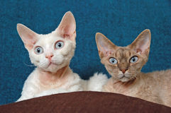 Devon rex - siblings Royalty Free Stock Images