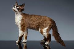 Devon Rex Stands in der Profilansicht über Grau Stockbild