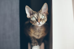 Devon rex tabby kota obsiadanie na grzejniku Obraz Royalty Free