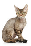 Devon Rex on a white background Royalty Free Stock Images