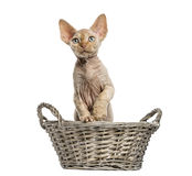 Devon rex in a wicker basket isolated on white Royalty Free Stock Image