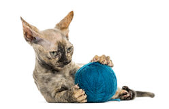Devon rex with a wool ball isolated on white Stock Photo