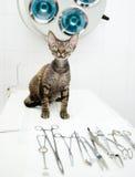 Devon rexkatt i veterinär- klinik nära det medicinska hjälpmedlet Arkivfoton