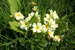 Devon Roadside Primroses immagine stock