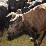 Devon-Stier und Angus-Kühe. Lizenzfreie Stockfotos