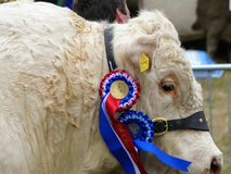 Devon, UK - July 30 2018: A bull proudly wearing its best in breed rosettes stock photos
