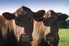 Devon-Vieh Stockbild