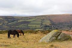 Devon wild horses Stock Photo