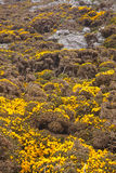 Devonshire gorse Royalty Free Stock Photos