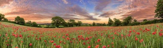Devonshire-Mohnblumen stockfotos