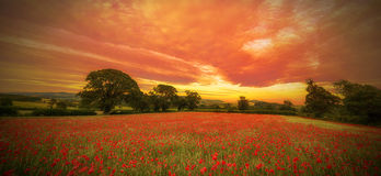Devonshire-Mohnblumen Stockfoto
