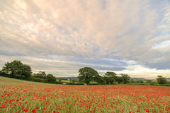 Devonshire Poppies Royalty Free Stock Photography