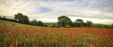 Devonshire Poppies Stock Image