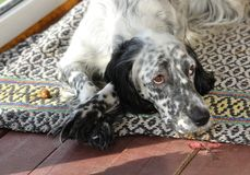 Devoted dog. English setter laying on the floor and looking devotedly at his owner Royalty Free Stock Images