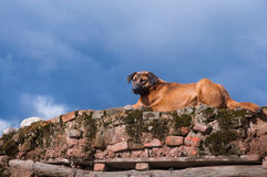 A devoted dog Royalty Free Stock Images