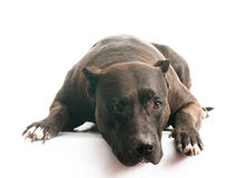 Devoted dog Stock Photography