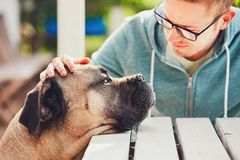 Devoted look of the huge dog. Friendship between young man and cane corso dog Stock Photos