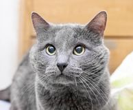 Devotee look gray cat. Devotee look of adult gray cat with yellow eyes Stock Photos