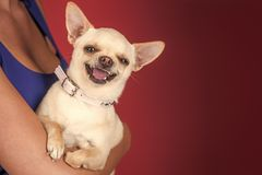 Devotion and constancy concept. Chihuahua dog smiling in female hands. Protection, alertness, bravery stock images