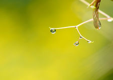 Dew. Ambiguous in the context of the green dew Royalty Free Stock Photo
