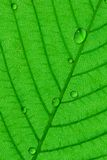 Dew. Water droplets dew on  green leaf surface Royalty Free Stock Images