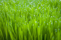 Dew. Droplets of dew on fresh green grass Stock Photo
