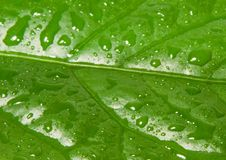 Dew. Extreme close-up view of green leaf royalty free stock photography