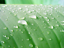 Dew 3. On the green banana palm stock images