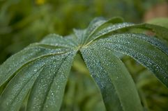 Dew. Macro shot of a leaves with dew Royalty Free Stock Photos