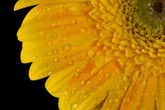Dew. Speckled yellow gerbera daisy Stock Images