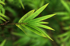 Dew on bamboo leaf Stock Image