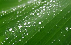 Dew on banana leaf Stock Photo