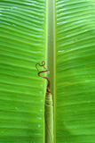 Dew on Banana leaves. Nature outdoor park  pattern plant color  concep Stock Images