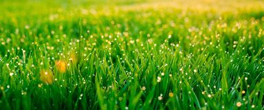 Dew on blades of grass. Morning dew on blades of grass during sunrise Royalty Free Stock Image