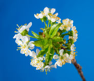 Dew on blooming cherry twig Stock Image
