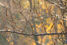 Dew on branches Royalty Free Stock Images