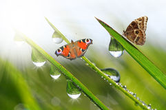 Dew with butterflies Royalty Free Stock Photography