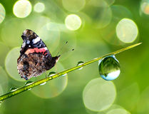 Dew and butterfly Stock Photo