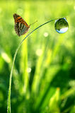Dew and butterfly. Fresh morning dew and butterfly Royalty Free Stock Photos
