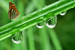 Dew and butterfly Stock Images