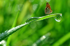 Dew and butterfly. Fresh morning dew and butterfly Royalty Free Stock Photography