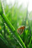Dew and butterfly Stock Image