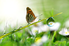 Dew and butterfly Stock Photography