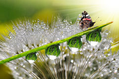 Dew and butterfly. Fresh morning dew and butterfly Stock Photo