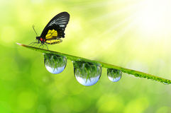Dew and butterfly Royalty Free Stock Images