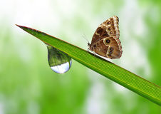 Dew and butterfly. Morpho close up Royalty Free Stock Photography