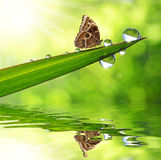 Dew and butterfly. Water drops on green grass and butterfly Morpho Royalty Free Stock Image