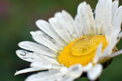 Dew on camomile stock photography